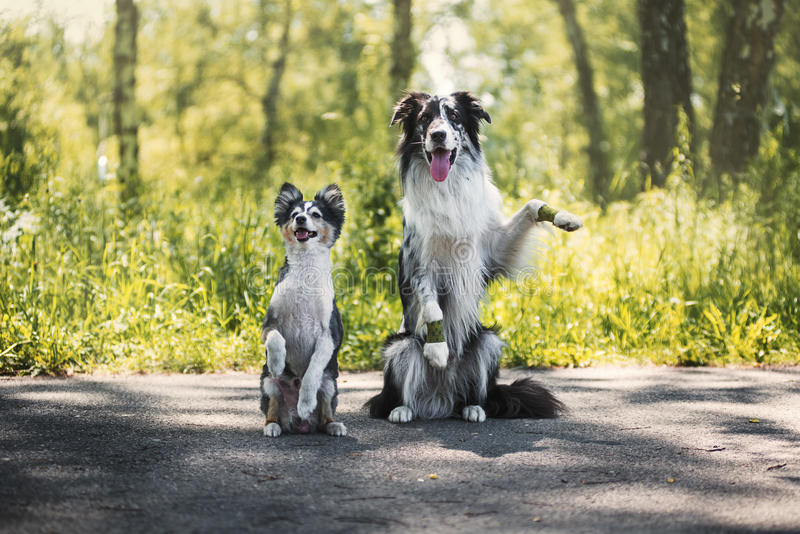 Border collie and shetland sheepdog stock images