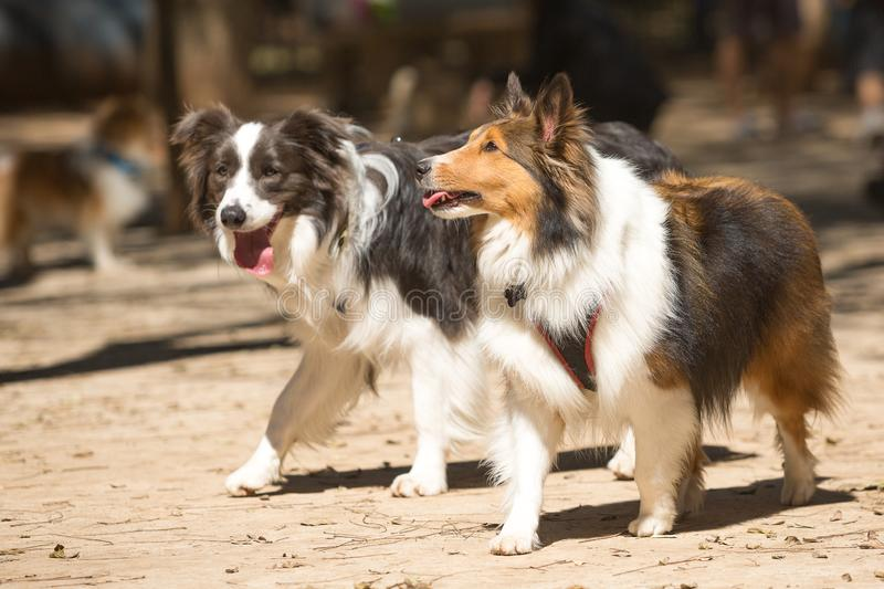 A Border Collie and a Shetland Shepherd walking in a park.  royalty free stock image