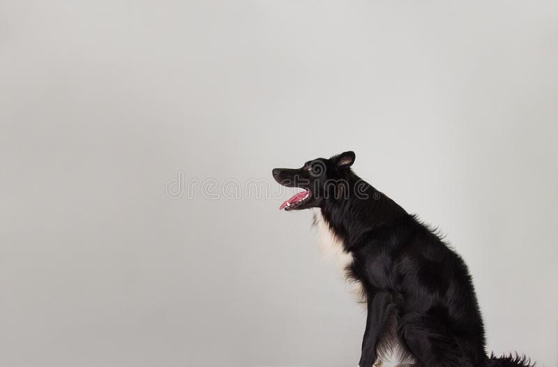 Border collie side view looking up royalty free stock images