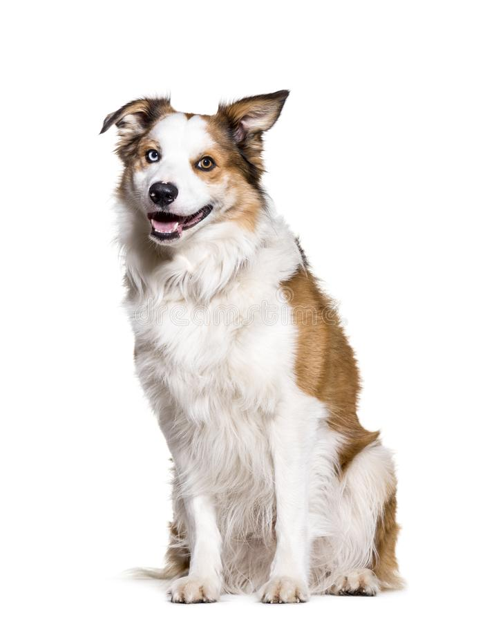 Download Border Collie Sitting Against White Background Stock Photo - Image of color, alone: 113970610