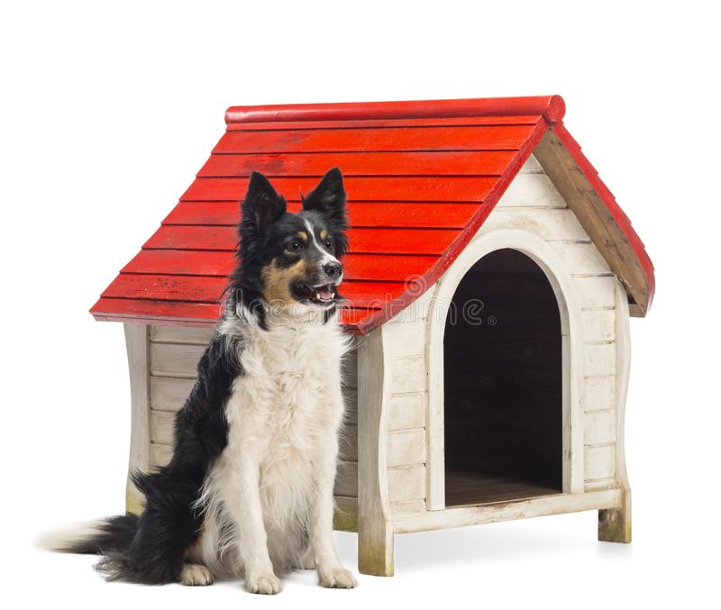Border Collie sitting next to a kennel and looking away against white background stock photos