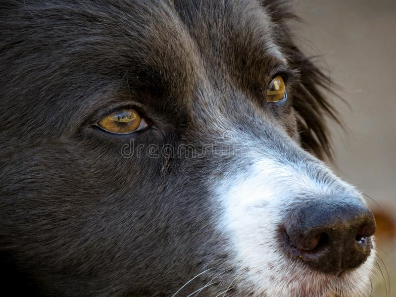 Border Collie Collie royalty free stock images