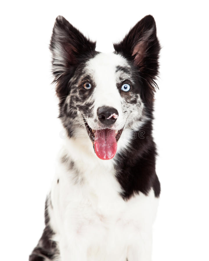 Border Collie Smiling royalty free stock photo