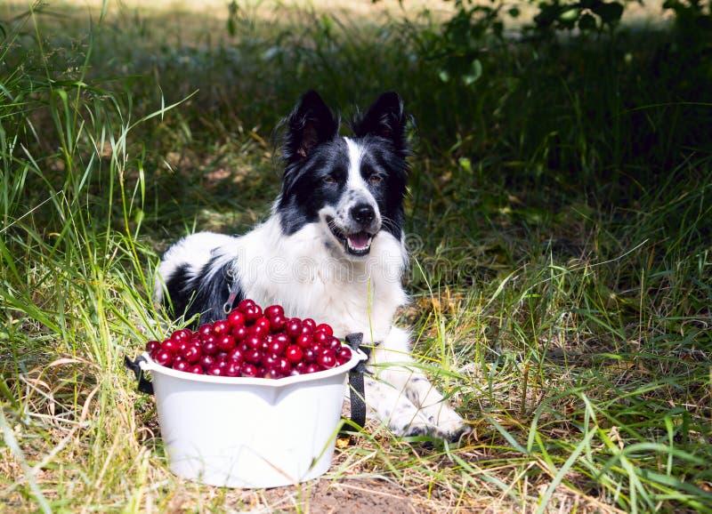Border collie sonriente de la raza del perro que miente en la hierba cerca de un cubo de cerezas imágenes de archivo libres de regalías