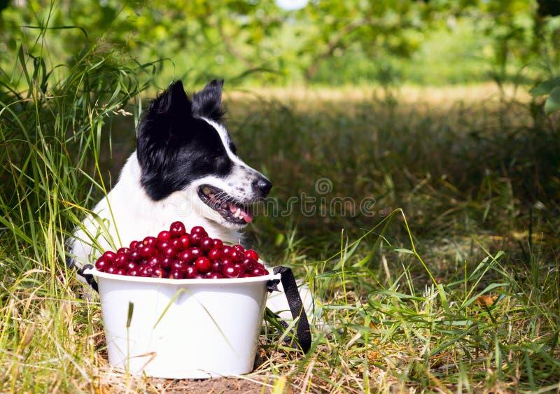 Border collie sonriente de la raza del perro que miente en la hierba cerca de un cubo de cerezas foto de archivo libre de regalías