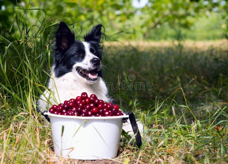 Border collie sonriente de la raza del perro que miente en la hierba cerca de un cubo de cerezas imagen de archivo libre de regalías