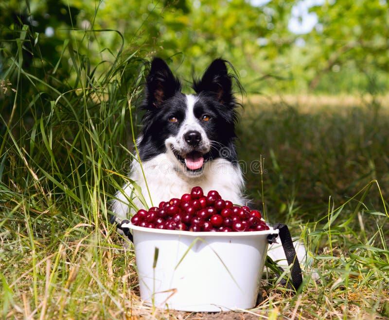 Border collie sonriente de la raza del perro que miente en la hierba cerca de un cubo de cerezas fotos de archivo