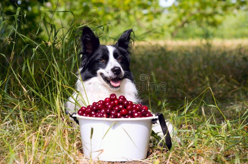 Border collie sonriente de la raza del perro que miente en la hierba cerca de un cubo de cerezas fotografía de archivo