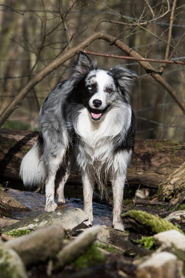 Border Collie Standing Looking Camera Stock Images Download 127