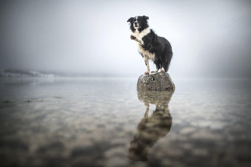 Border Collie stoi na skale w jeziorze Piękny pies w zadziwiającym krajobrazie obraz stock