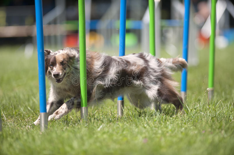 Border Collie successfully running through slalom on agility competition. Brown dog Border Collie successfully running through slalom on agility competition royalty free stock photos