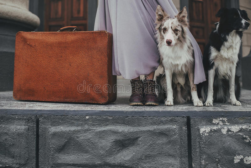 Border collie with suitcase stock image