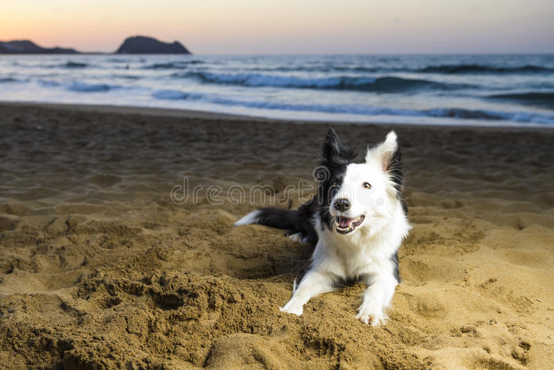 Border collie sur la plage images stock