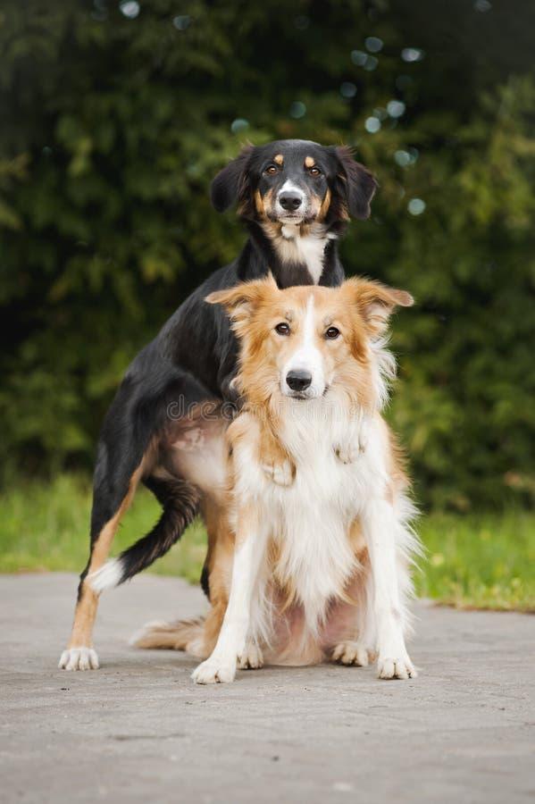 Abbraccio sveglio del Border Collie del cane due fotografia stock libera da diritti