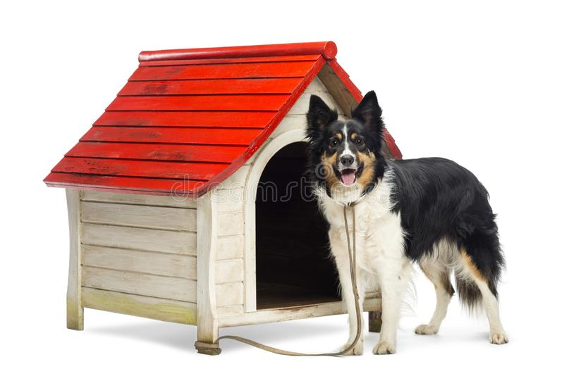 Border Collie tied to a kennel and portrait against white background stock photo