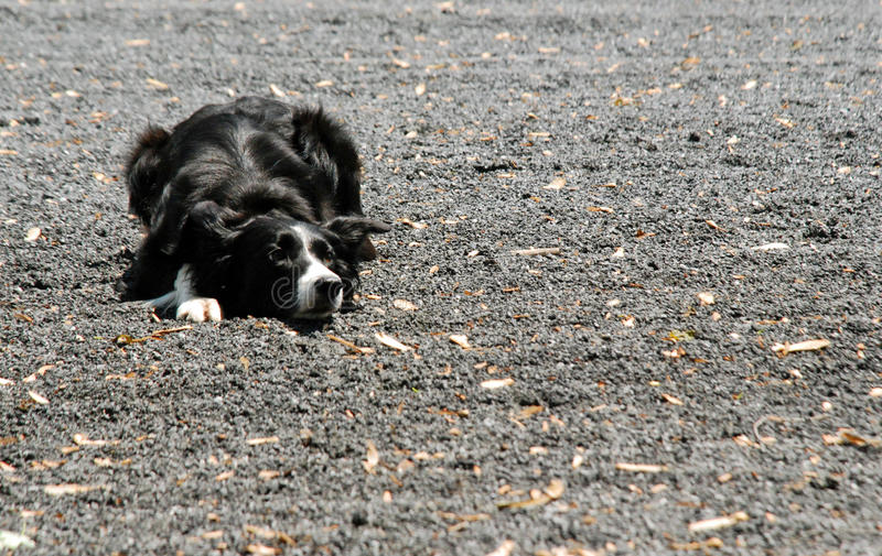 Download Border Collie Tracks Herd stock photo. Image of friend - 19612932