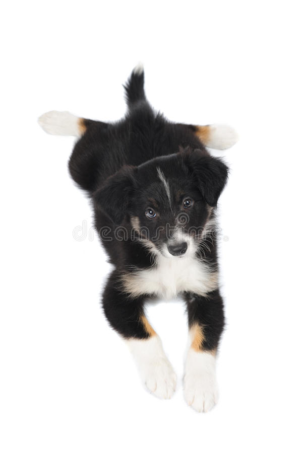 Download Border Collie Tricolor Puppy Lies On The White Royalty Free Stock Images - Image: 24678759