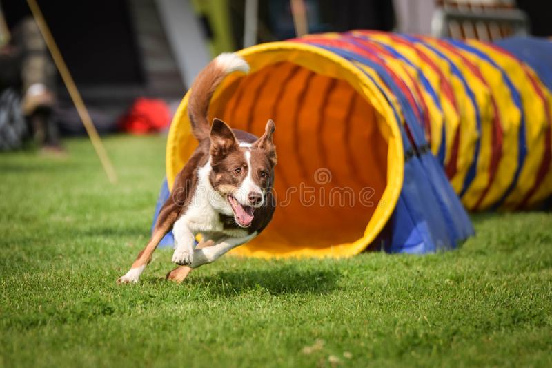 Border collie tricolor rojo del perro en tunel de la agilidad Era competencia solamente para grande fotografía de archivo