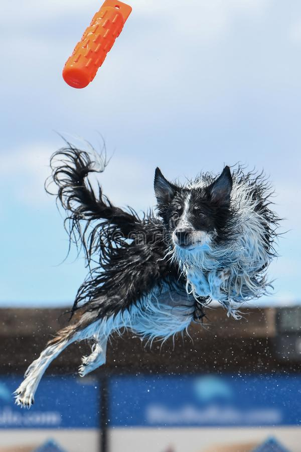 Border collie twisting in mid air to catch a toy. Border collie dock diving and twisting in mid air to catch an orange bumper toy royalty free stock image