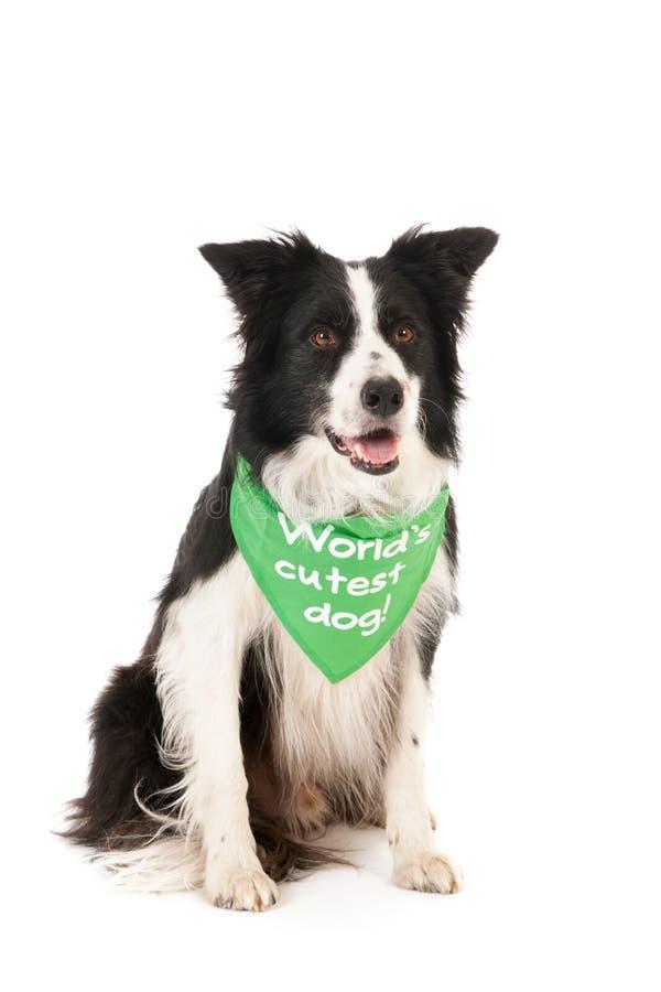 Border collie världs mest gulliga hund royaltyfri bild
