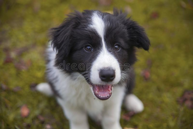 Border collie valp arkivfoton