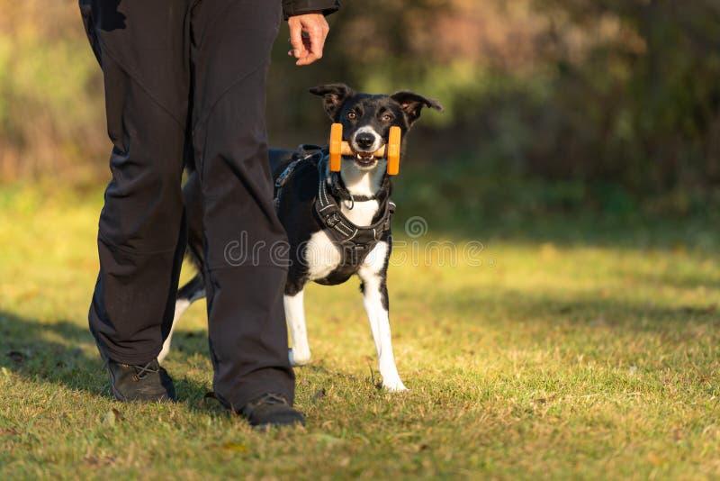 Border collie włosiany styl gładki Pies odzyskujący zdjęcia royalty free