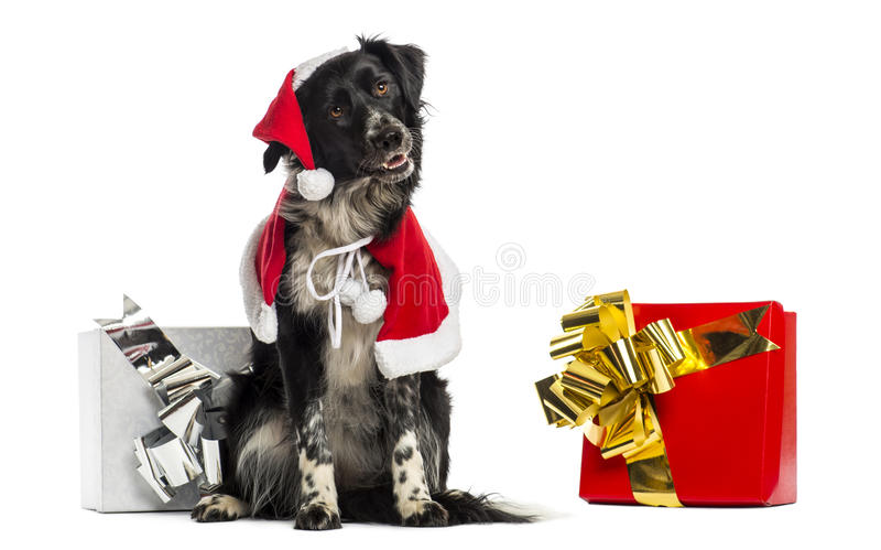 Border Collie wearing Christmas clothes, sitting next to present stock photos