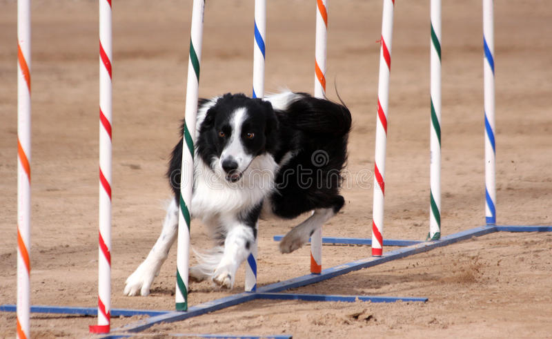 Download Border Collie Weaving Through Poles Stock Photo - Image: 26655744