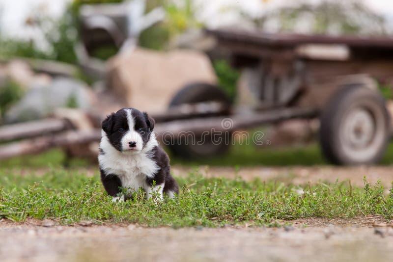 Border collie-Welpe, der draußen auf dem Bauernhof spielt stockbild