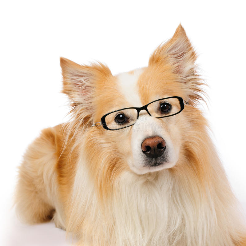 Free Border Collie With Glasses Royalty Free Stock Photography - 24728197