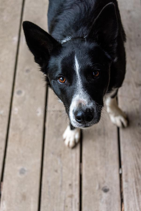 Border collie on wood deck looking up with adoration and expectation stock photography