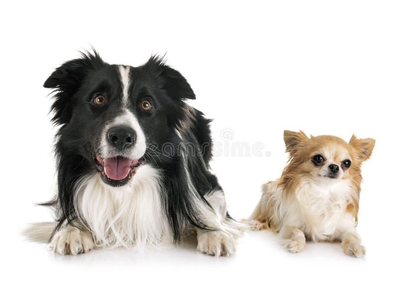 Border collie y chihuahua adultos foto de archivo