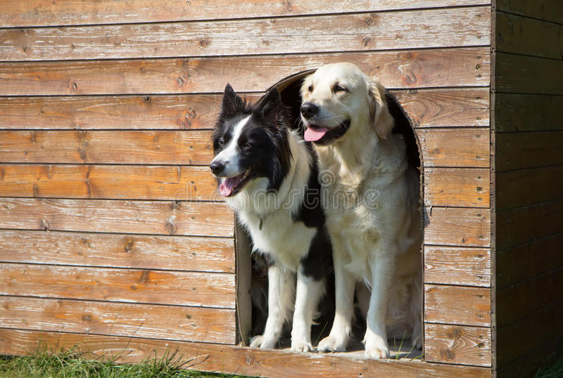 Border collie y golden retriever en la caseta de perro fotografía de archivo