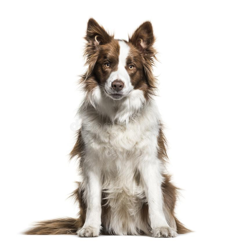 Border Collie, 1 year old royalty free stock images