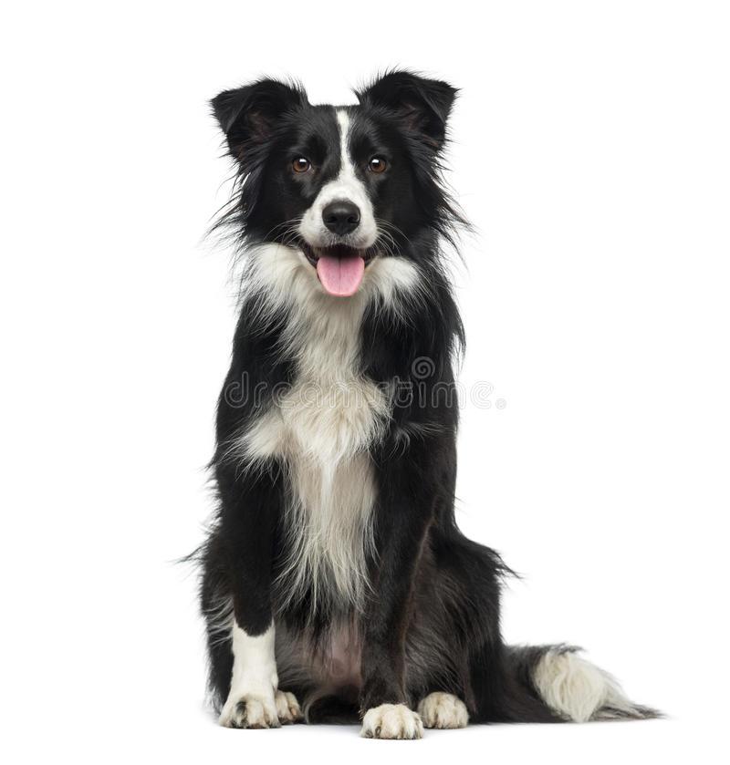 Border Collie (2 years old) royalty free stock images
