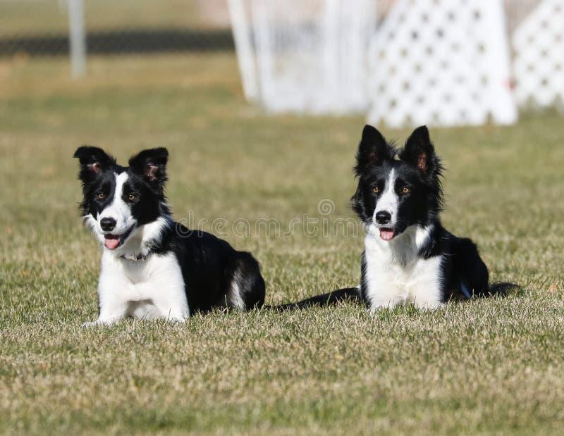 Border collie-zusters die samen het leggen in het gras stellen royalty-vrije stock foto's