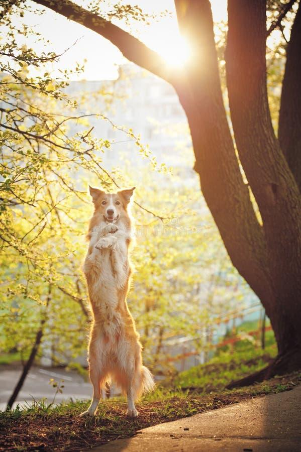 Border-Colliehund stehen oben im Sonnenschein stockfotos