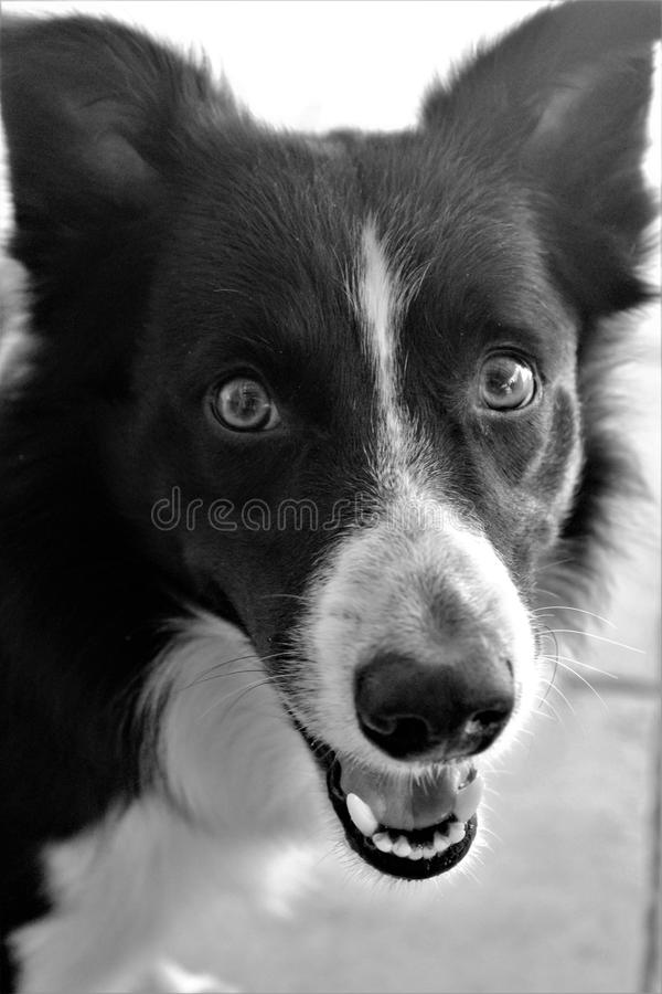 Border Collieintense look. 428/5000nThe Border Collie dog breed was developed to gather and control sheep in the mountainous border country. He is known for his stock photography