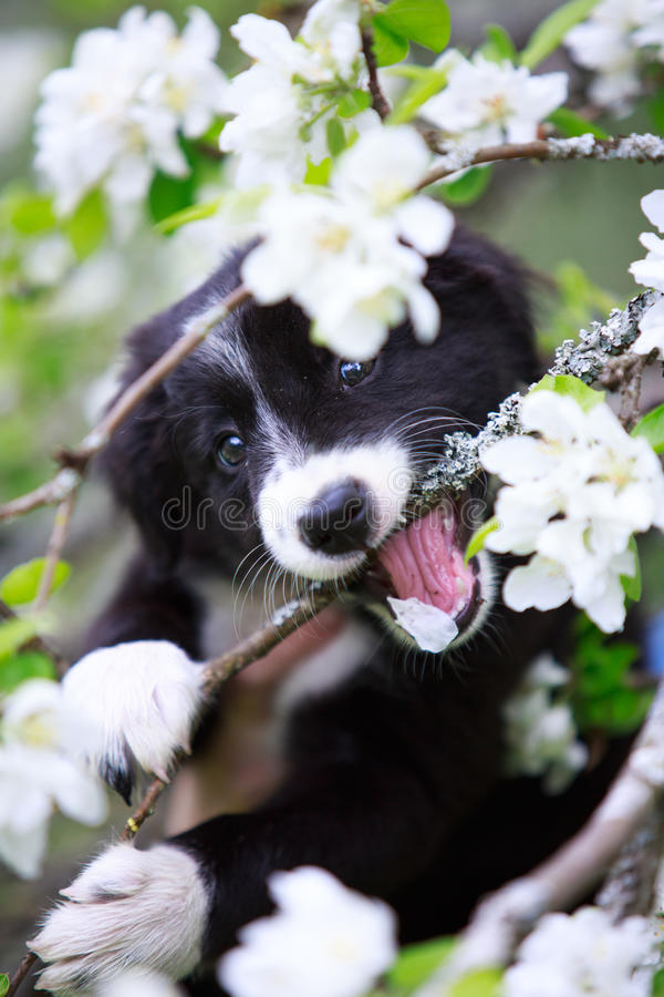 Download Border Collies stock image. Image of collies, summer - 31382485