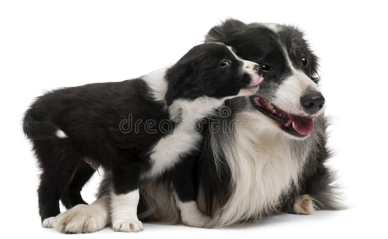 Border Collies Interacting Stock Images