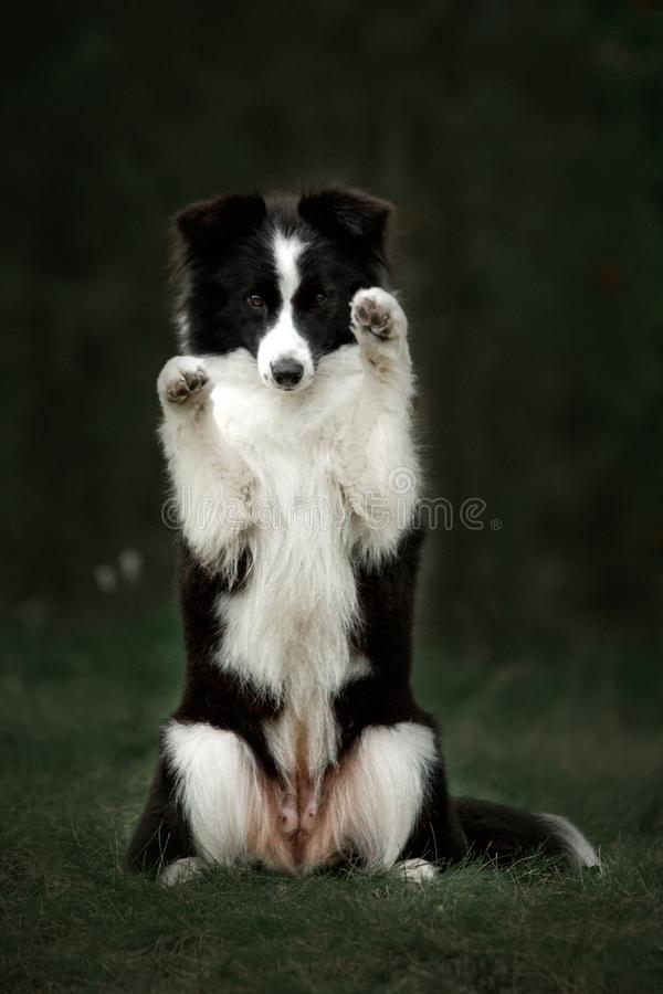 Border Collies like as bunny in the dark forest. Black and white Border Collies like as bunny in the dark forest stock photos