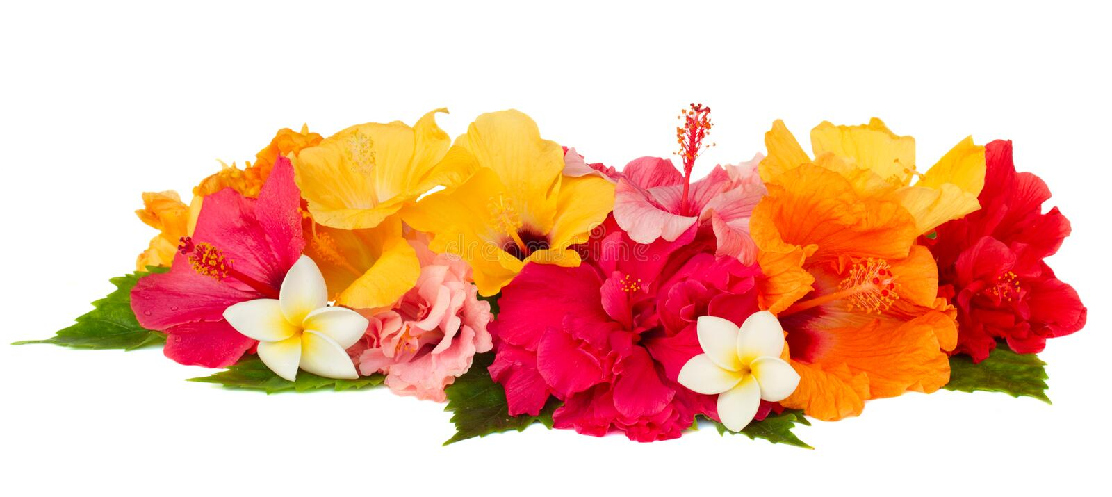 Border of colorful hibiscus flowers royalty free stock images