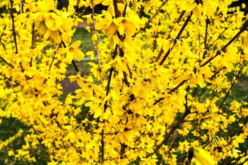 Border forsythia is an ornamental deciduous shrub of garden origin.Forsythia flowers in front of with green grass and blue sky. Golden Bell, Border Forsythia royalty free stock photos