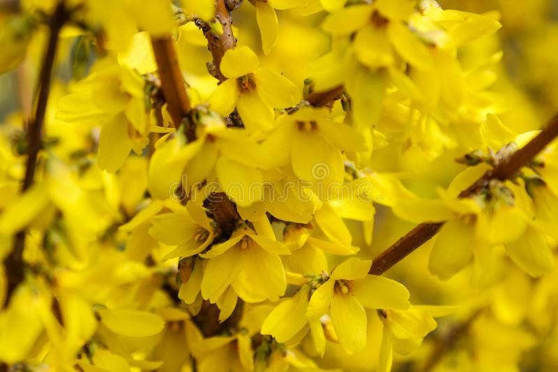 Border forsythia is an ornamental deciduous shrub of garden origin.Forsythia flowers in front of with green grass and blue sky. Golden Bell, Border Forsythia stock photography