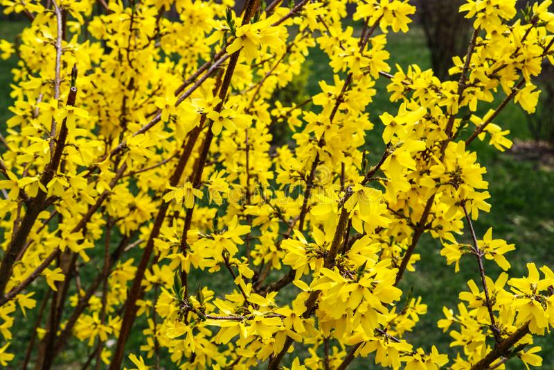 Border forsythia is an ornamental deciduous shrub of garden origin.Forsythia flowers in front of with green grass and blue sky. Golden Bell, Border Forsythia stock photos