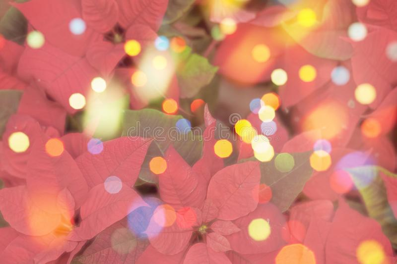 Border of fresh poinsettia flowers or christmas star with festive colorful bokeh background. Merry christmas, greeting stock photo