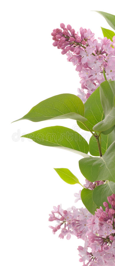Border of lilac stock photography