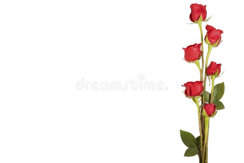 Border of long stem roses isolated on white royalty free stock photo