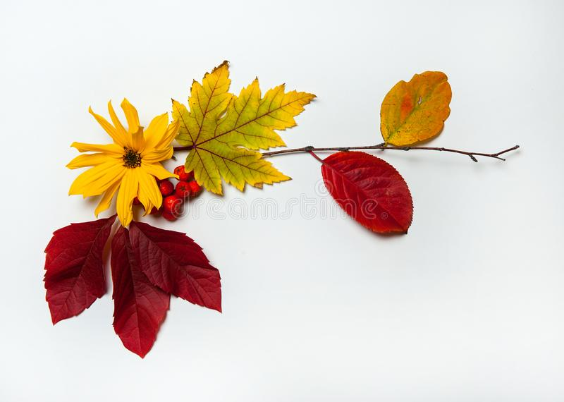The border is made of colorful leaves, Rowan berries and yellow flowers on a white background. Isolated. Autumn composition. The border is made of colorful stock photos