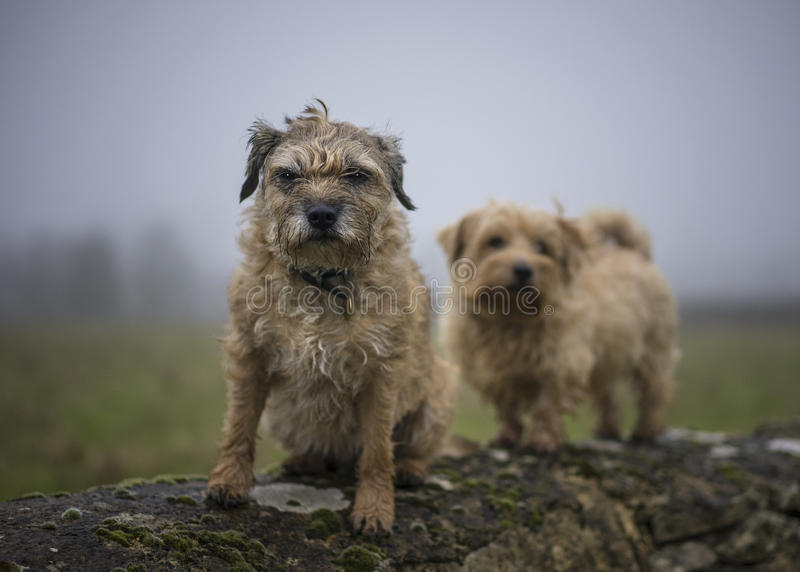 Border and Norfolk Terrier on wall stock images